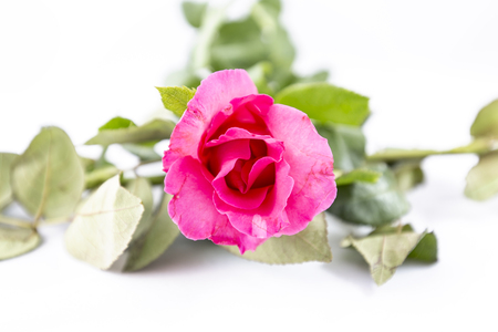 red roses: Pink Rose aislado en fondo blanco