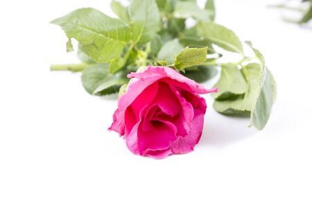 roses petals: Pink Rose isolated on white background