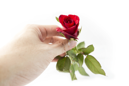 red hand: Rose in hand isolated on white background