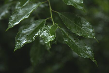 green leaves wet because of rain