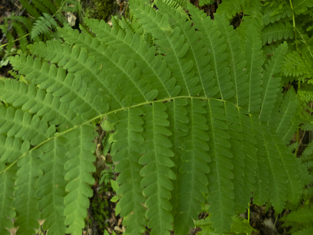 green fern leaves in the wood