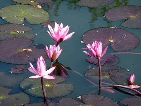 aqua flowers: water lily purple blossom,North of Thailand