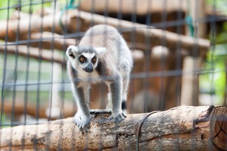 monkies: ringtailed lemur lemur catta in zoo Stock Photo