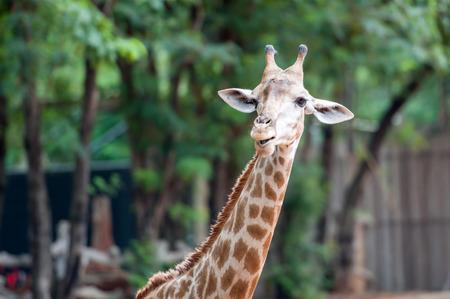 animal head giraffe: giraffes in the zoo safari park