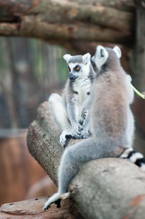 monkies: ring-tailed lemur (lemur catta) in zoo