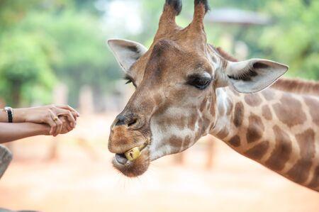zoo: Gente alimentación jirafa en el zoológico Foto de archivo