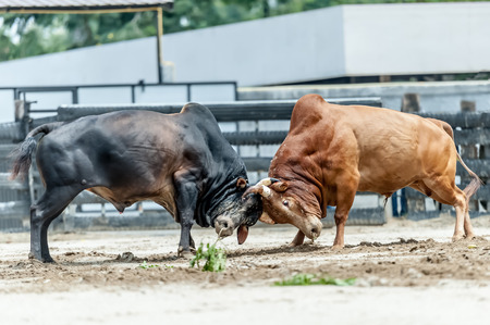 bull fighting: Bull fighting is a traditional game of Thailand.