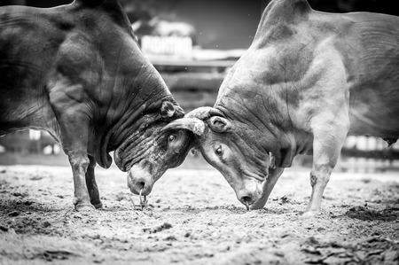 bull fighting: Bull fighting is a traditional game of Thailand,Black&White Stock Photo