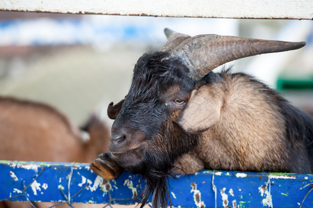 pygmy goat: Adorable little goat being stroked at the petting zoo
