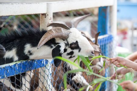stroked: Adorable little goat being stroked at the petting zoo