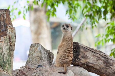 erdmaennchen: Meerkat (Surikate) in the Zoo
