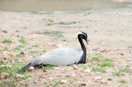 alone bird: Demoiselle Crane (Anthropoides virgo) Bird sitting alone Stock Photo