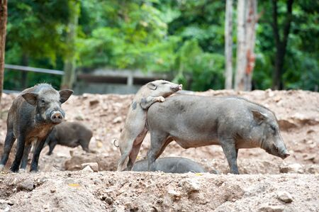jabali: El jabalí, cerdo salvaje en el campo