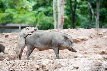 jabali: Cerdo salvaje en el campo