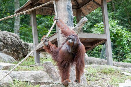 orangutang: Orangutan in the zoo