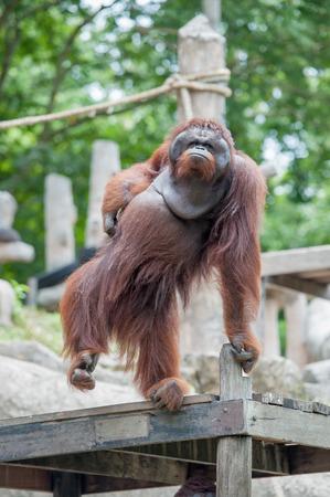 utang: Orangutan in the zoo
