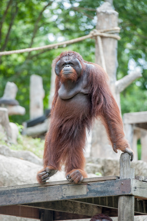 hominid: Orangutan in the zoo