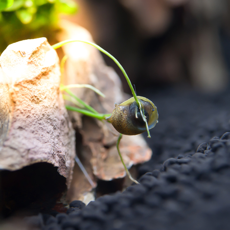 aquarium hobby: beautiful snails in the aquariumHorned Nerite Snail