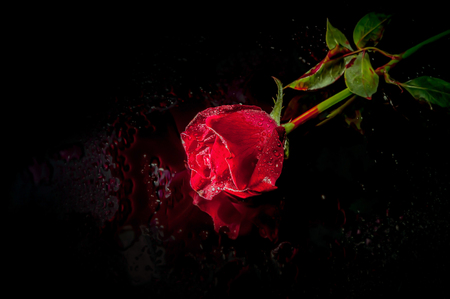 roses and blood: dramatic a red rose with blood