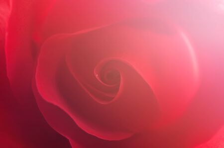 red rose bokeh: blurred beautiful flowers made with color filters