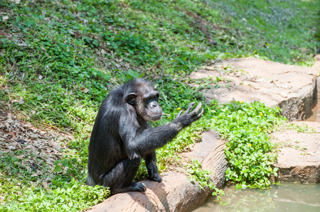 chimpanzee: Common Chimpanzee in the Zoo Stock Photo