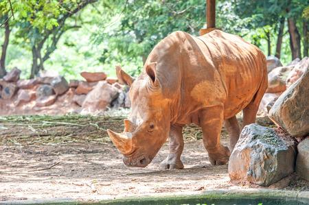 conservation grazing: rhinoceros (Ceratotherium simum) in Zoo