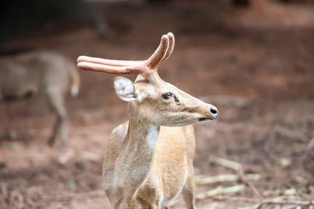 curios: Deer  Looking Deer  Curios Deer  Zoo Deer