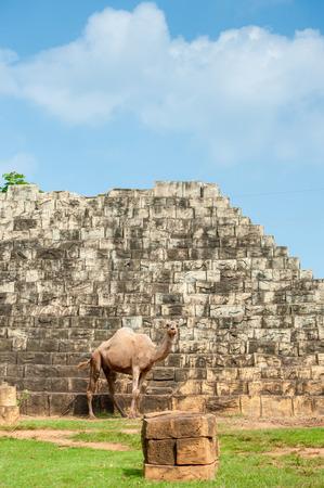 arab beast: dromedary camel in tha zoo