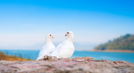 twosome: Beautiful view of two white pigeons on perch with island background