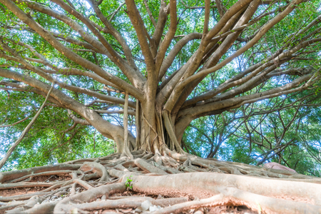 the big banyan tree in the park