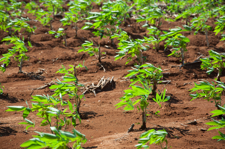 The cassava growing in plantation during the rainy season in Thailand Stock Photo