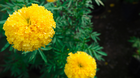 Marigolds big round yellow flowers stock photo picture and royalty marigolds big round yellow flowers stock photo 88674766 mightylinksfo