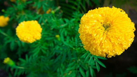 Marigolds big round yellow flowers stock photo picture and royalty marigolds big round yellow flowers stock photo 88851011 mightylinksfo
