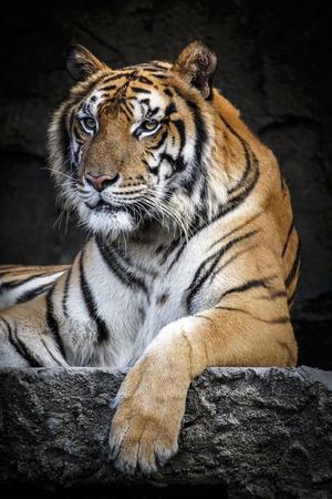 Big sumatran tiger at KhoKeaw open zoo in Thailand.