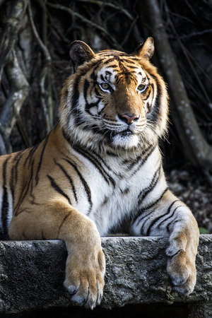 sumatran: Big sumatran tiger at KhoKeaw open zoo in Thailand.