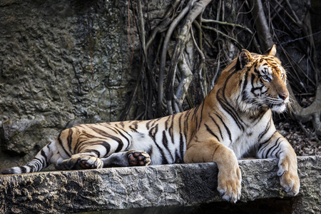 sumatran tiger: Big sumatran tiger at KhoKeaw open zoo in Thailand.