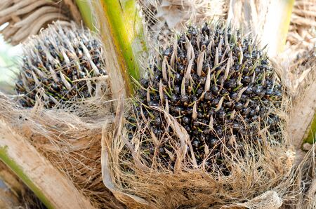 biodiesel plant: Palm fruit growing on tree, tropical plant for biodiesel production