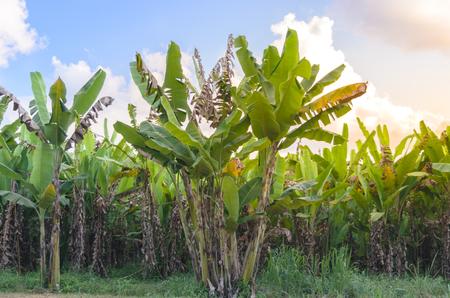 Banana tree plantation with sunshine and sky.