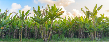 Banana tree plantation with sunshine and sky - panorama.