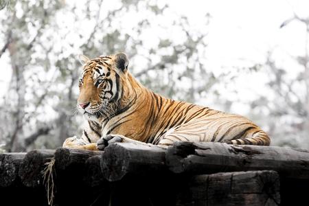 Tiger safari word