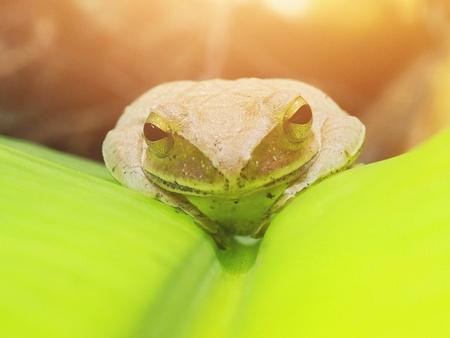 Polypedates, Sleeping on a green banana leaf.Green light reflected (focus eye close-up)