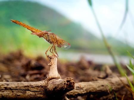 Dragonfly. Woodland River side have Mountain are background Zdjęcie Seryjne