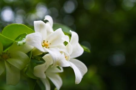 jessamine: Ramo con fiori di arancio Puneet in primavera.