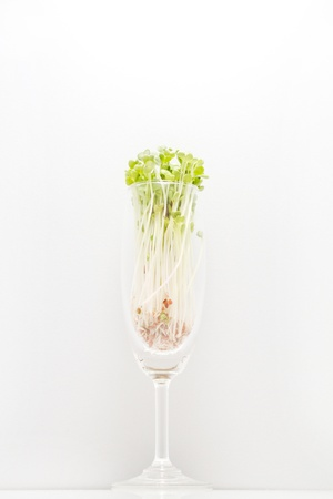 kaiware sprout, japanese vegetable or watercress in glass  photo