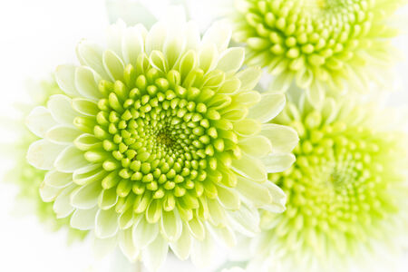 Green chrysanthemum flowers.