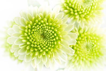 Green chrysanthemum flowers.
