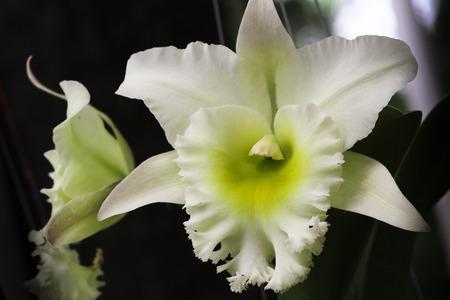cattleya: White Cattleya Orchid. Orchid flower.