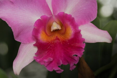 cattleya orchid: Pink Cattleya Orchid. Orchid flower.