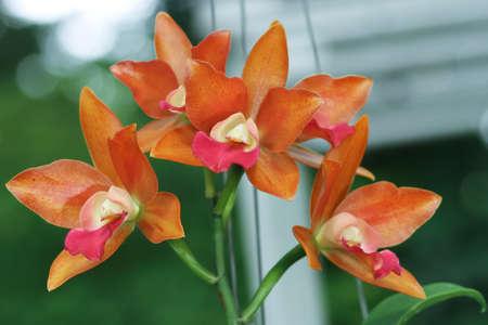 cattleya orchid: Orange Cattleya Orchid. Fragrant Orchid. Hybrid Aerides Orchid.