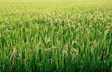 paddy: Paddy rice field. Rice plant. Stock Photo